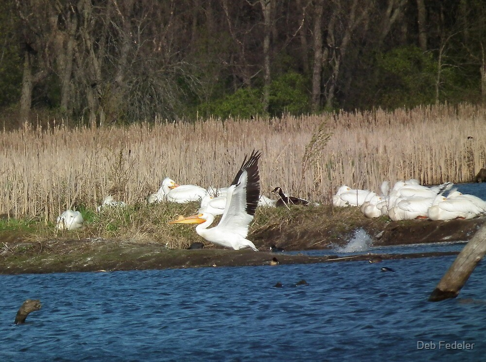American White Pelican at Liftoff by Deb Fedeler