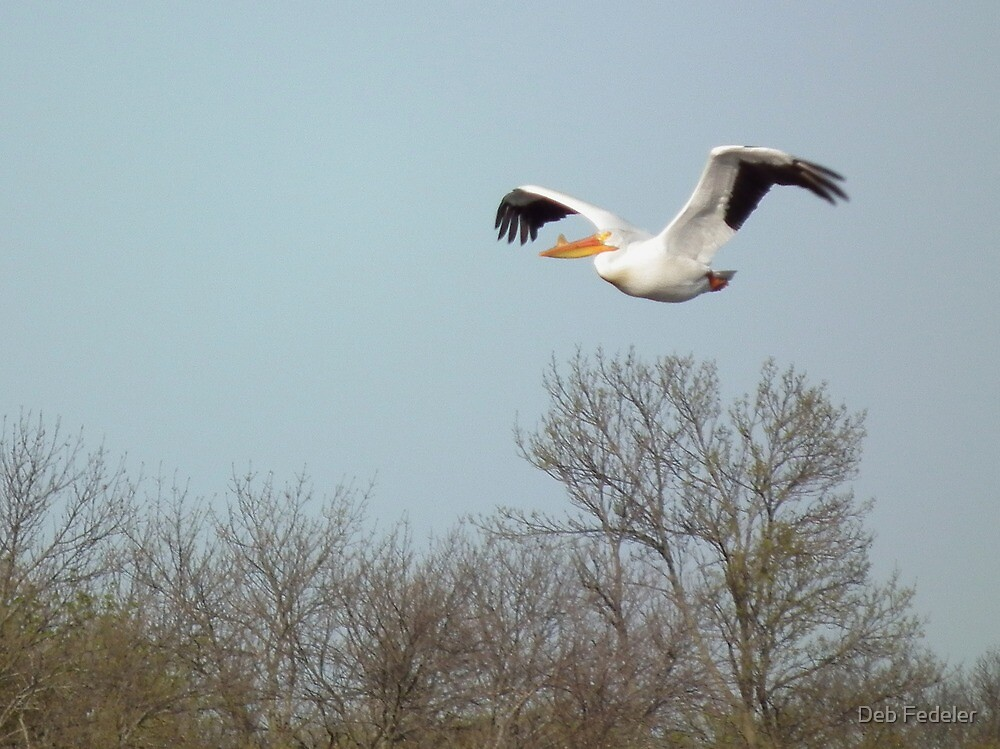 American White Pelican Flying Over Trees by Deb Fedeler