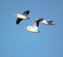 American White Pelican Flying Trio by Deb Fedeler