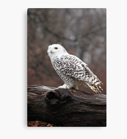 Snowy Owl Portrait ~ Canvas Print
