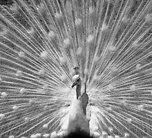 peacock by Joana Kruse