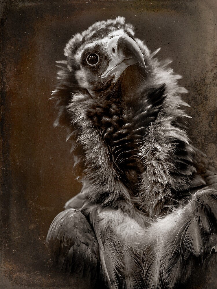 Finer Feathered Friends: Cinereous Vulture by alan shapiro