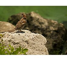 Call of the house sparrow Photographic Print