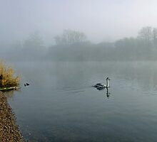 A Cygnet in the Fog by Rod Johnson