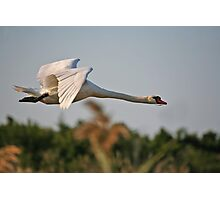Mute Swan Flight Photographic Print
