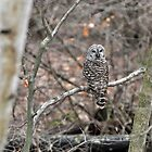 Barred Owl in January by Caleb Ward