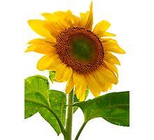 Sunflower Days Photographic Print