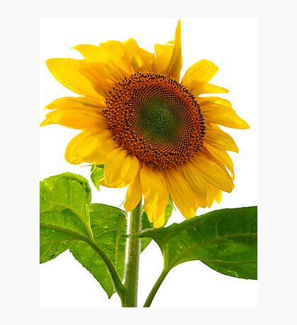 Sunflower Days Photographic Print