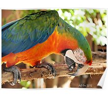 Catalina Macaw Poster