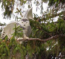Sunset Hill Snowy Owl: Balancing on a Branch by Tom Talbott