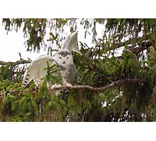 Sunset Hill Snowy Owl: Balancing on a Branch Photographic Print