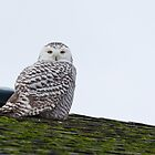 Sunset Hill Snowy Owl: Warming its Toes by Tom Talbott