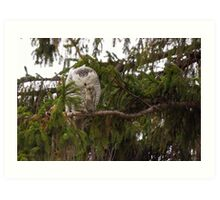 Sunset Hill Snowy Owl: Grooming its Toes Art Print