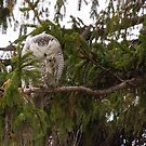 Sunset Hill Snowy Owl: Grooming its Toes by Tom Talbott