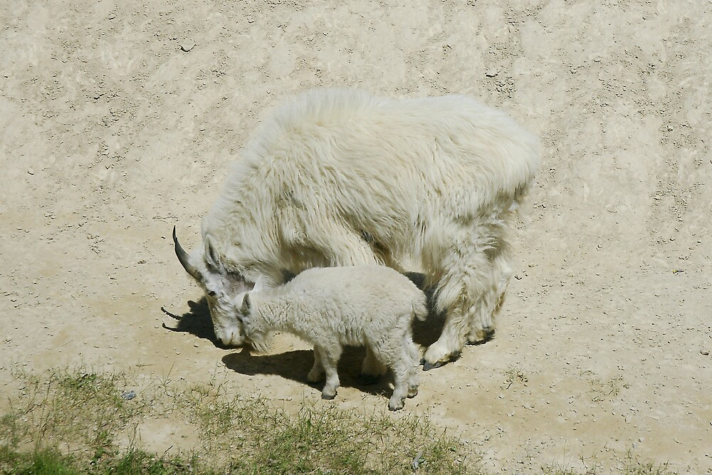 Rocky Mountain goats at a salt lick by roger smith