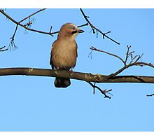 Female Jay Sitting On Branch Photographic Print