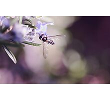 Rosemary Robber Fly Photographic Print