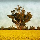 Canola at Grenfell by Darren Stones
