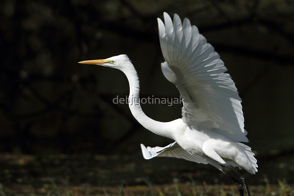 """The landing of the Egret."" by debjyotinayak"