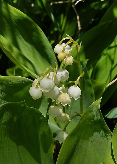 le muguet fleur - Lily of the Valley by AnnDixon