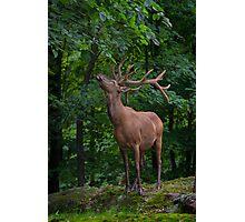 Eating Elk Photographic Print