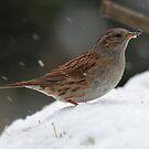 Dunnock in winter by Peter Wiggerman