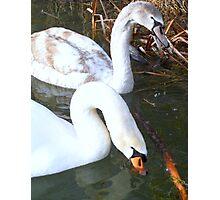 Swan Parenthood Photographic Print