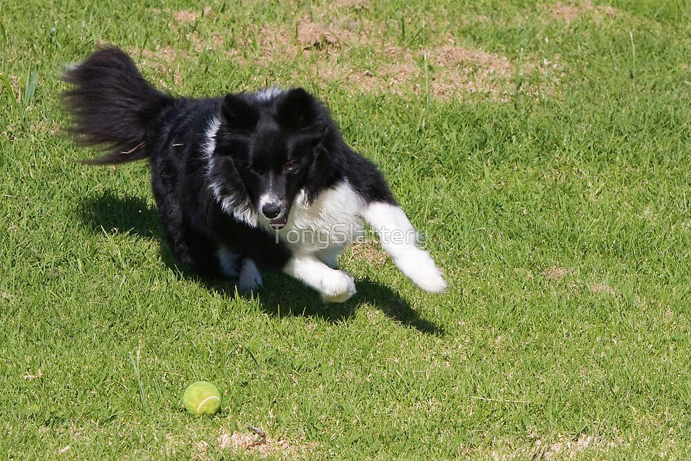 Border Collie Chasing by TonySlattery