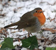 The European Robin (Erithacus rubecula) by DutchLumix
