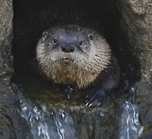 San Francisco's Sam the Otter by fototaker