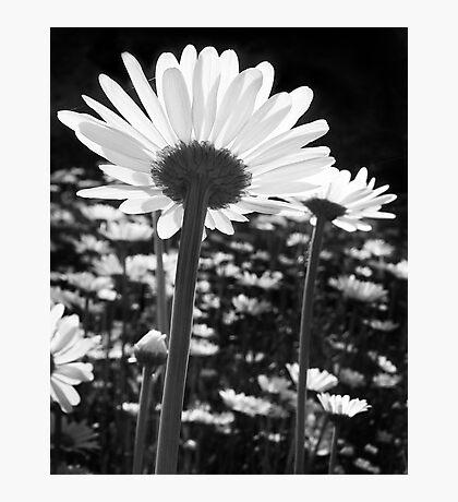 Daisy Dreams Photographic Print