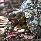 Leopard Tortoise by Steven  Agius