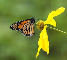 Monarch Butterfly by Barry Culling