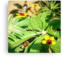 Butterfly and Coreopsis Canvas Print