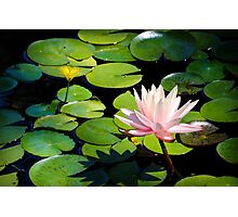 Pink Water Lily Flower above a  Pond Photographic Print