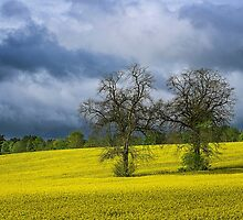 Yellow Field with trees by Barry Culling
