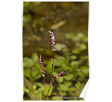 Flowers along Merri Creek Poster