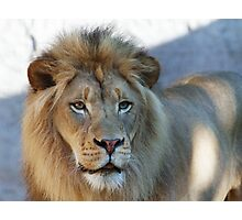 Lion looking right Photographic Print