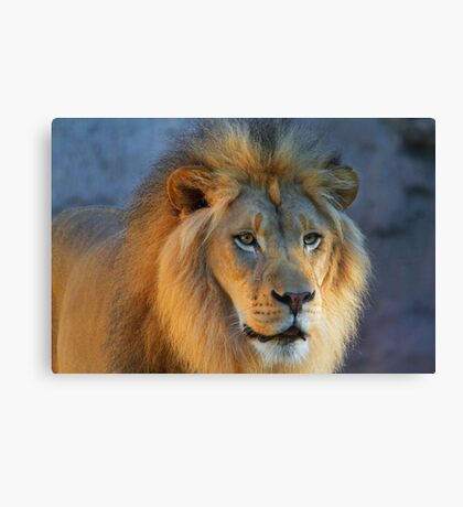 Golden Lion looking right Canvas Print
