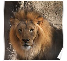 Lions head Poster