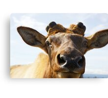 Elk up close Canvas Print