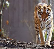 Bengal Tiger at zoo by bobkeenan