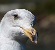 Pensive Seagull face by bobkeenan