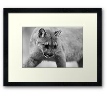 Mountain Cougar Framed Print