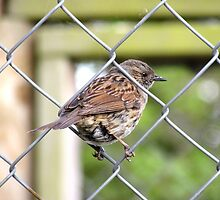 Female Dunnock Perching On Wire by EvieTuffs