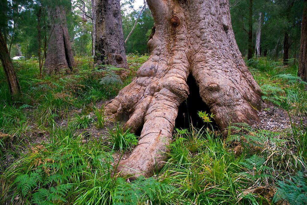 Giant Tingle Tree by seyuk