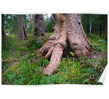 Giant Tingle Tree Poster