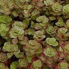 Super Succulent by mussermd