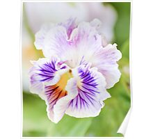 Perfect Frilly Pansy Poster