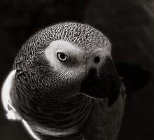 african grey  by dennis william gaylor